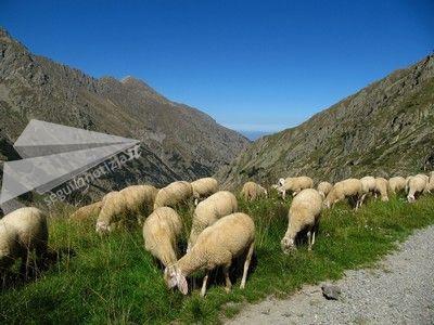 pascolo pecore